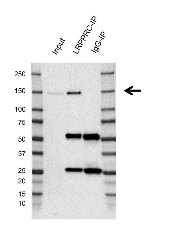 Anti Lrpprc Antibody, clone AB02/2F11 (PrecisionAb Monoclonal Antibody) thumbnail image 2