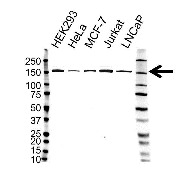 Anti Lysine-Specific Demethylase 3A Antibody (PrecisionAb™ Monoclonal Antibody) gallery image 1
