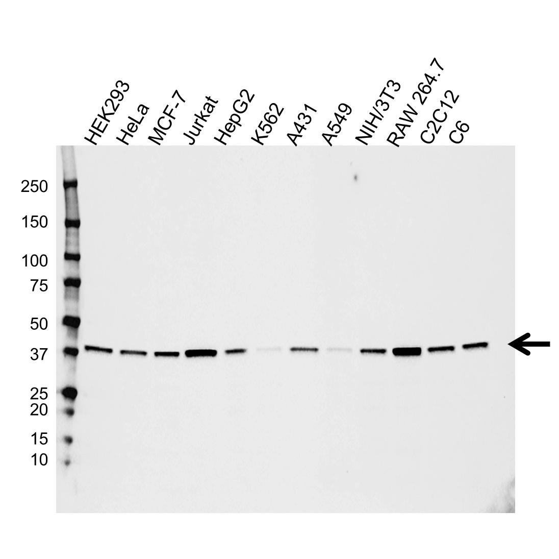 Anti MAPK14 Antibody (PrecisionAb™ Monoclonal Antibody) gallery image 1