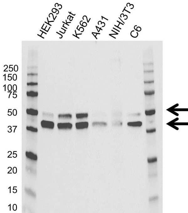 Anti MAPK8 / JNK1 Antibody (PrecisionAb Monoclonal Antibody) gallery image 1