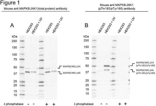 Anti MAPK8/JNK1 (pThr183/pTyr185) Antibody, clone D04/7G6 (PrecisionAb Monoclonal Antibody) thumbnail image 1