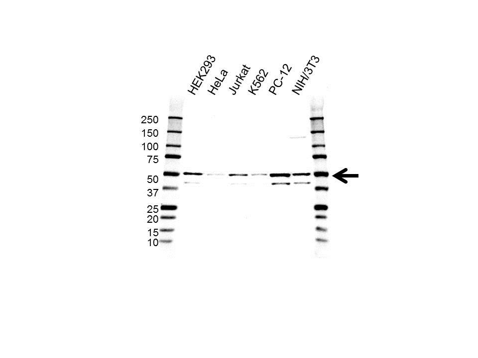 Anti MAPK9 / JNK2 Antibody, clone OTI1A1 (PrecisionAb Monoclonal Antibody) gallery image 1