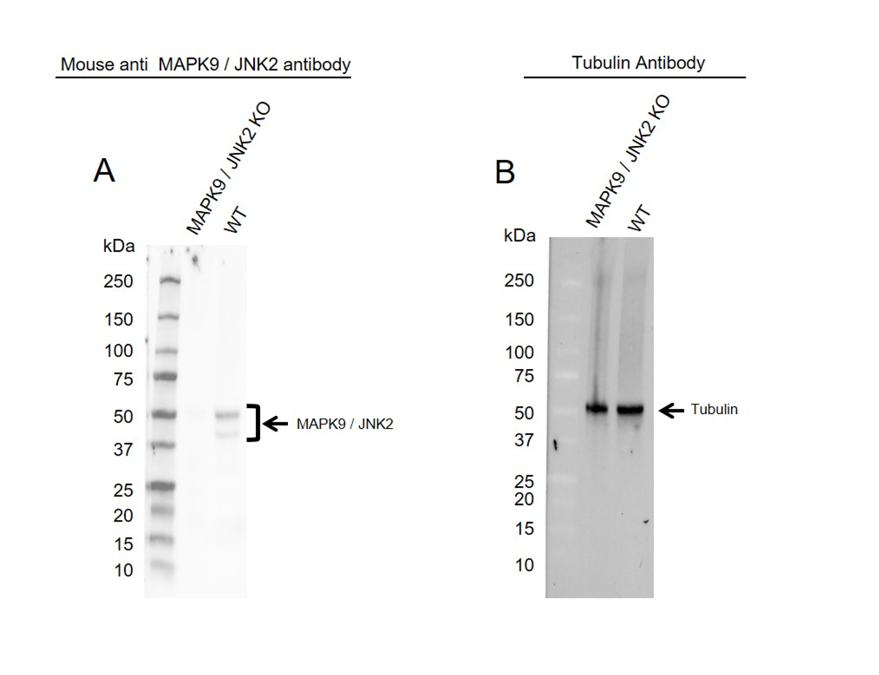 Anti MAPK9 / JNK2 Antibody, clone OTI1A1 (PrecisionAb Monoclonal Antibody) thumbnail image 2