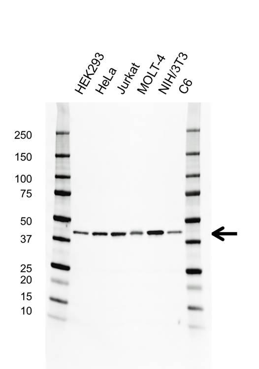 Anti Mcl-1 Antibody (PrecisionAb Monoclonal Antibody) gallery image 1