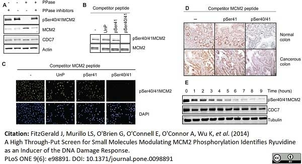 Anti Human MCM2 Antibody, clone CRCT2.1 thumbnail image 2