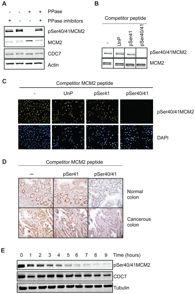 Anti Human MCM2 Antibody, clone CRCT2.1 thumbnail image 3