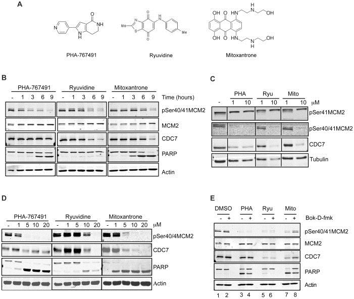 Anti Human MCM2 Antibody, clone CRCT2.1 thumbnail image 4