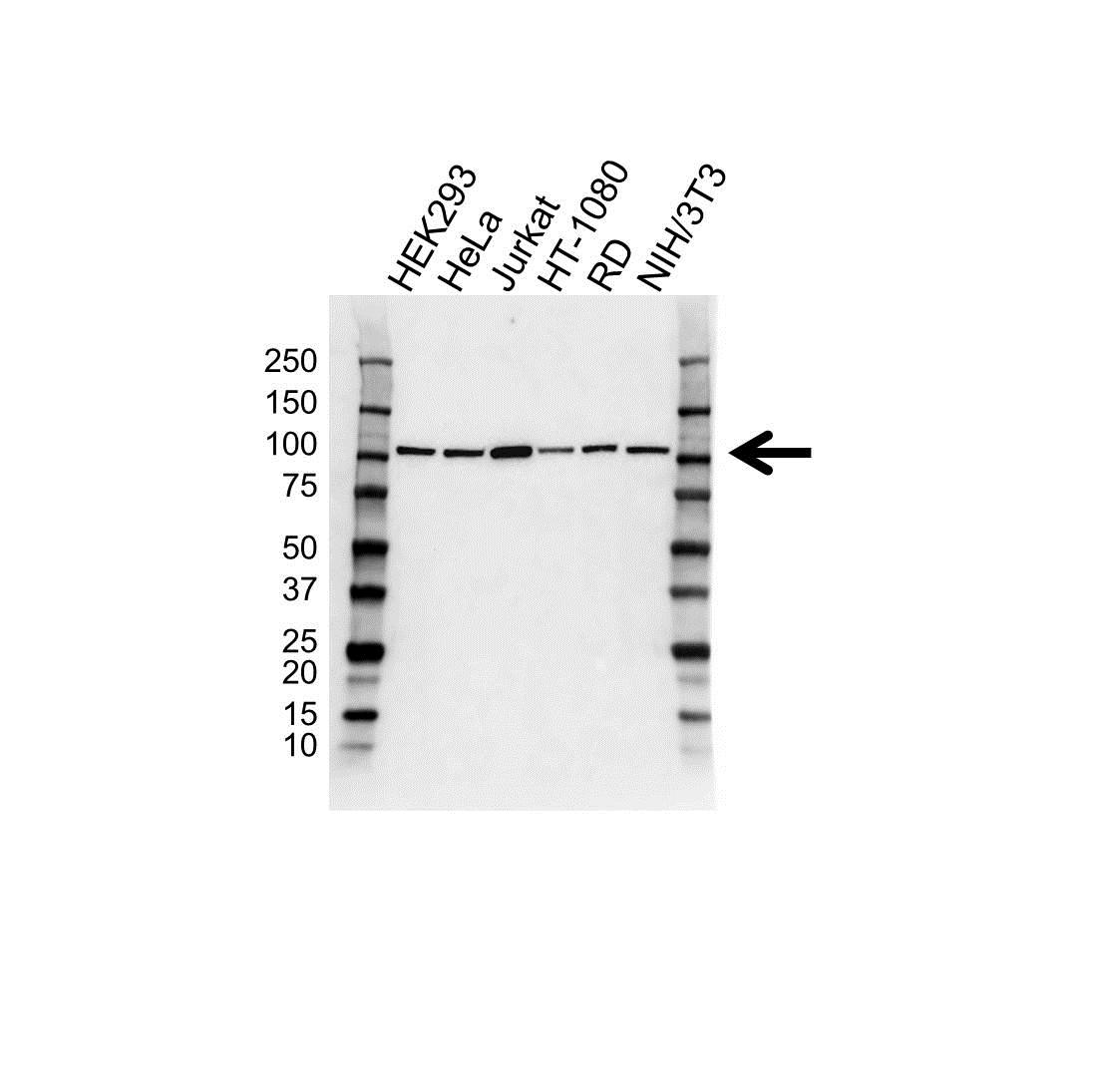 Anti MCM3 Antibody (PrecisionAb™ Monoclonal Antibody) gallery image 1