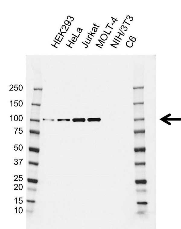 Anti MCM4 Antibody, clone AB03/1F7 (PrecisionAb Monoclonal Antibody) gallery image 1