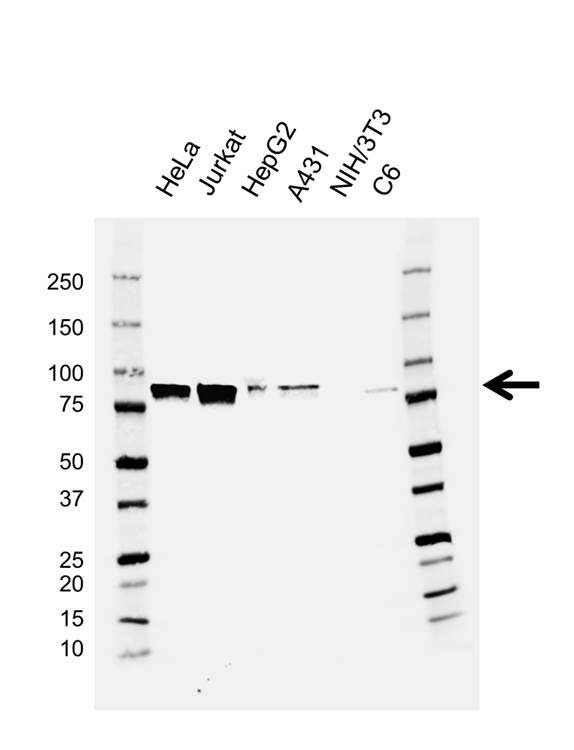Anti MCM7 Antibody, clone AB04/3F1 (PrecisionAb™ Monoclonal Antibody) gallery image 1
