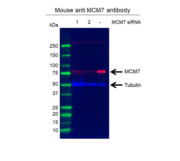 Anti MCM7 Antibody, clone AB04/3F1 (PrecisionAb Monoclonal Antibody) thumbnail image 2