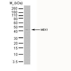 Anti Human MEK 1 Antibody, clone AbD05812 thumbnail image 1