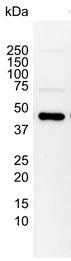 Anti Human MEK 1 Antibody, clone AbD05812 thumbnail image 2