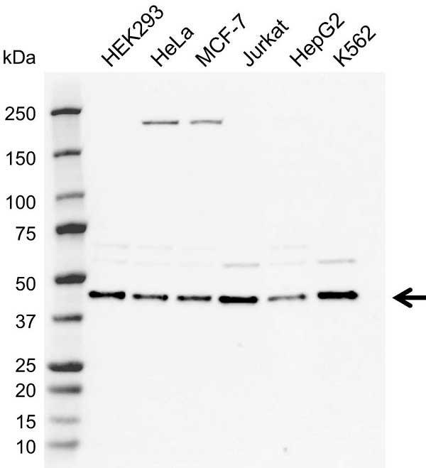 Anti MEK 1 Antibody, clone AbD5812 (PrecisionAb Monoclonal Antibody) thumbnail image 1