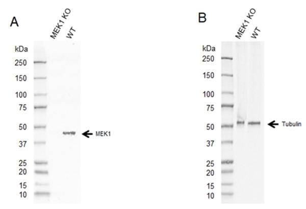 Anti MEK 1 Antibody, clone AbD5812 (PrecisionAb Monoclonal Antibody) thumbnail image 2