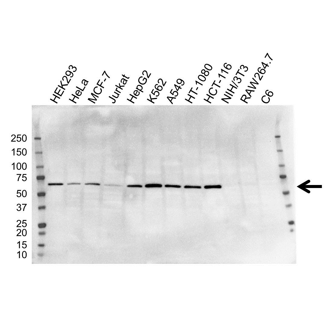 Anti METAP2 Antibody, clone OTI1F6 (PrecisionAb™ Monoclonal Antibody) gallery image 1