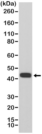 Anti MMP-12 Antibody, clone RM381 thumbnail image 1