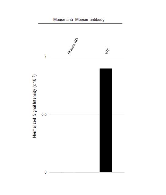 Anti Moesin Antibody, clone 2C12 (PrecisionAb Monoclonal Antibody) thumbnail image 2