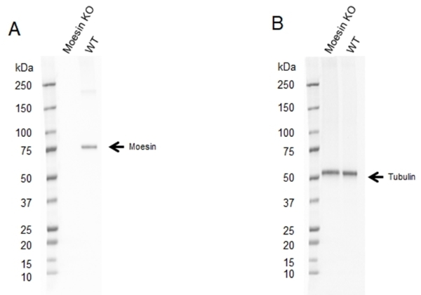 Anti Moesin Antibody, clone CPTC10 (PrecisionAb Monoclonal Antibody) thumbnail image 2