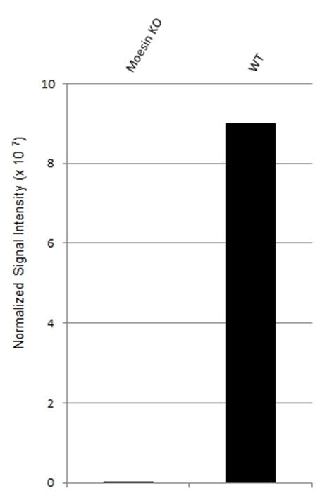 Anti Moesin Antibody, clone CPTC10 (PrecisionAb Monoclonal Antibody) thumbnail image 3