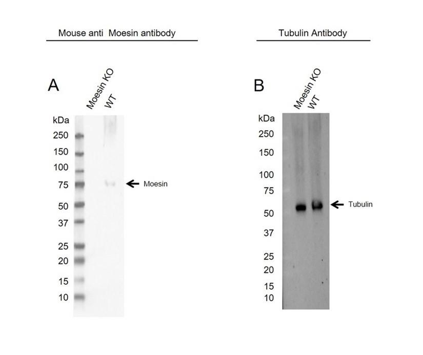 Anti Moesin Antibody (PrecisionAb Monoclonal Antibody) thumbnail image 2