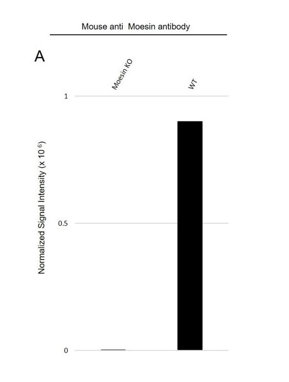 Anti Moesin Antibody (PrecisionAb Monoclonal Antibody) thumbnail image 3
