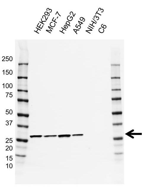 Anti MRPL28 Antibody, clone AB04/3B11 (PrecisionAb Monoclonal Antibody) gallery image 1