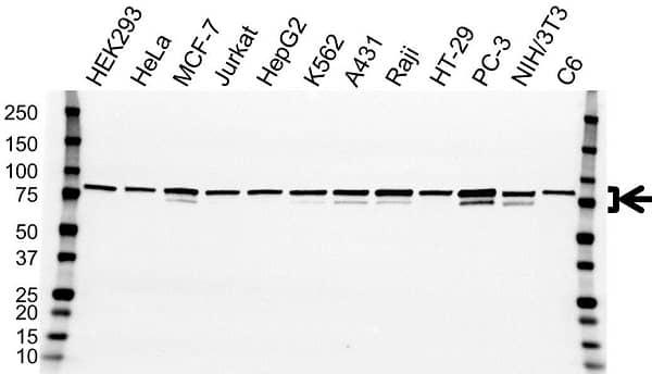 Anti MTDH Antibody, clone OTI1E7 (PrecisionAb Monoclonal Antibody) gallery image 1