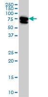 Anti Human MTMR2 Antibody, clone 4G6 gallery image 1