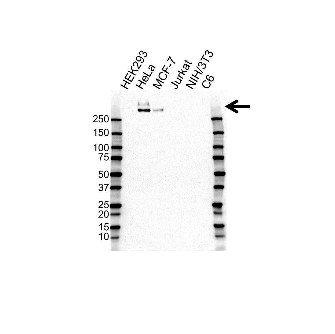 Anti MUCIN 1 Antibody (PrecisionAb™ Monoclonal Antibody) gallery image 1