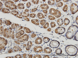Anti Human Mucin 4 Antibody, clone 5B12 thumbnail image 1