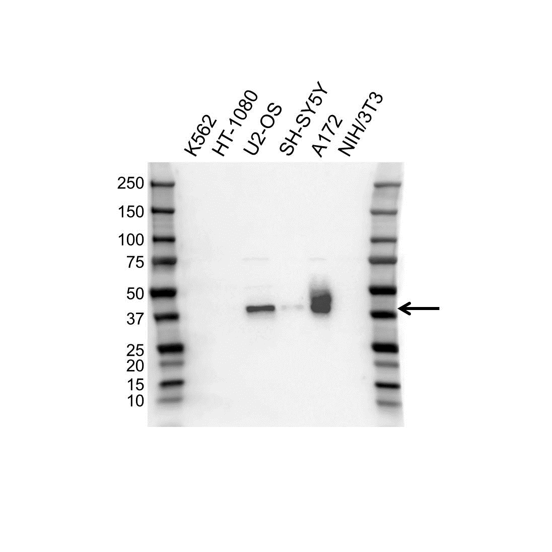 Anti Musashi-1 Antibody, clone OTI2H9 (PrecisionAb Monoclonal Antibody) gallery image 1