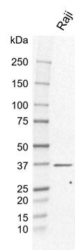 Anti MyD88 Antibody, clone KL01/3A2 (PrecisionAb Monoclonal Antibody) thumbnail image 1