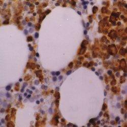 Anti Human Myeloperoxidase Antibody, clone 2C7 thumbnail image 1