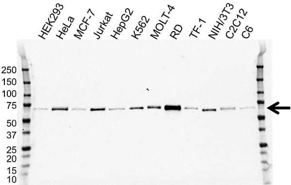 Anti Myocyte-Specific Enhancer Factor 2D Antibody, clone OTI3D12 (PrecisionAb Monoclonal Antibody) gallery image 1