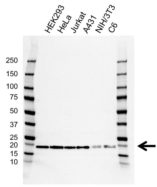 Anti Myosin Regulatory Light Chain Antibody, clone AB03/2F2 (PrecisionAb Monoclonal Antibody) gallery image 1