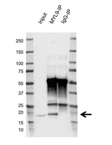 Anti Myosin Regulatory Light Chain Antibody, clone AB03/2F2 (PrecisionAb Monoclonal Antibody) thumbnail image 2