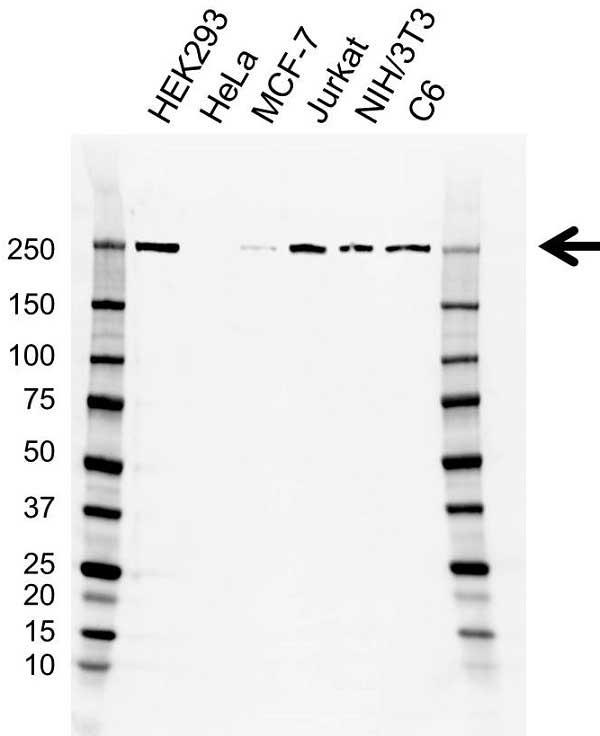 Anti Myosin Heavy Chain 10 Antibody, clone AB01-2/4F2 (PrecisionAb Monoclonal Antibody) gallery image 1