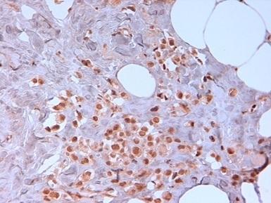 Anti Human N-Cadherin Antibody, clone 13A9 thumbnail image 3