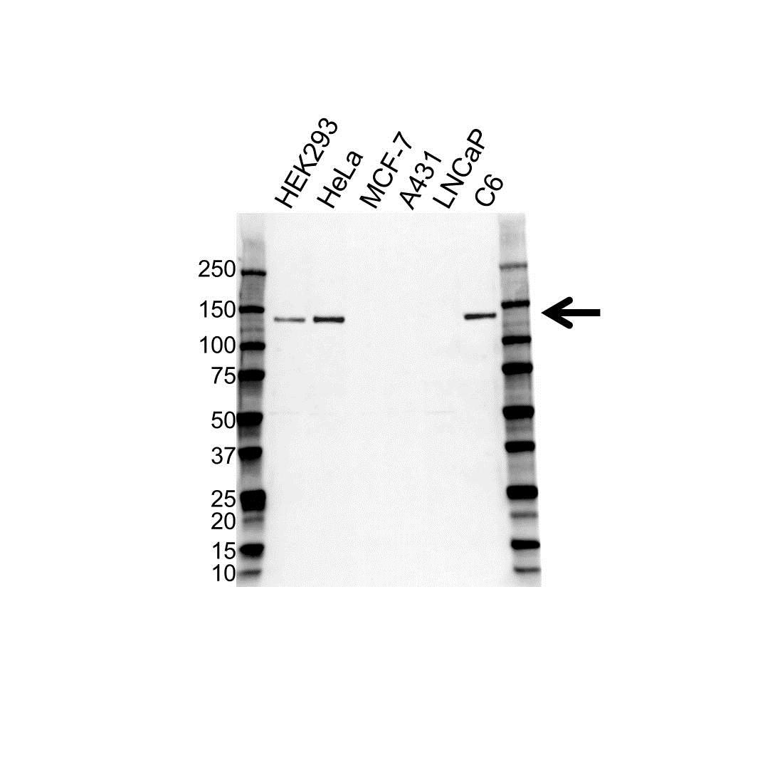 Anti N-Cadherin Antibody, clone OTI2G7 (PrecisionAb Monoclonal Antibody) gallery image 1