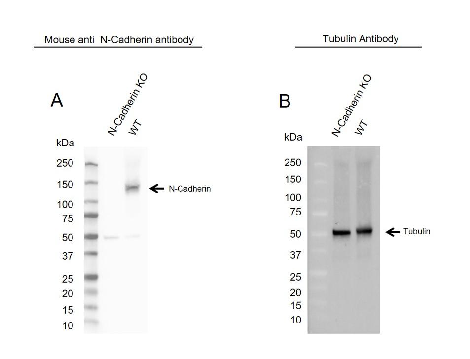 Anti N-Cadherin Antibody, clone OTI2G7 (PrecisionAb Monoclonal Antibody) thumbnail image 2