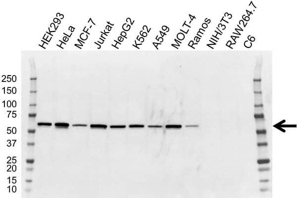 Anti NAB1 Antibody, clone OTI1D2 (PrecisionAb Monoclonal Antibody) gallery image 1