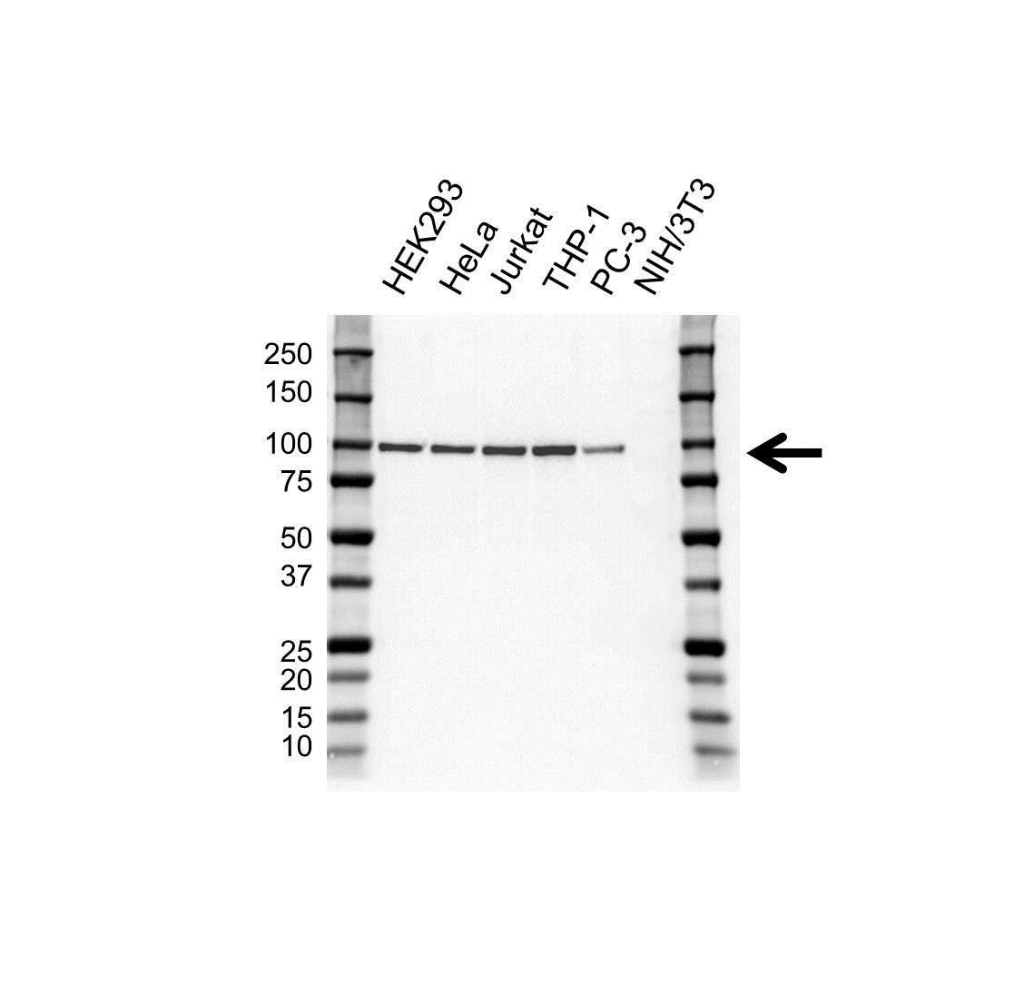 Anti NBS1 Antibody, clone UMAB100 (PrecisionAb™ Monoclonal Antibody) gallery image 1