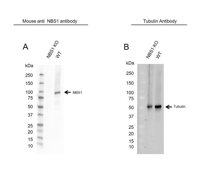 Anti NBS1 Antibody, clone UMAB100 (PrecisionAb Monoclonal Antibody) thumbnail image 2
