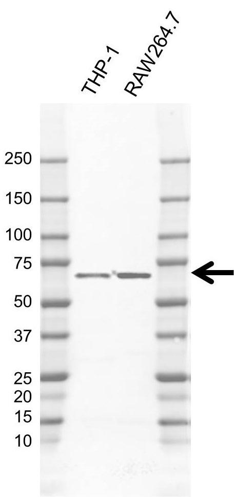 Anti NCF2 Antibody, clone H05/3G6 (PrecisionAb Monoclonal Antibody) thumbnail image 1