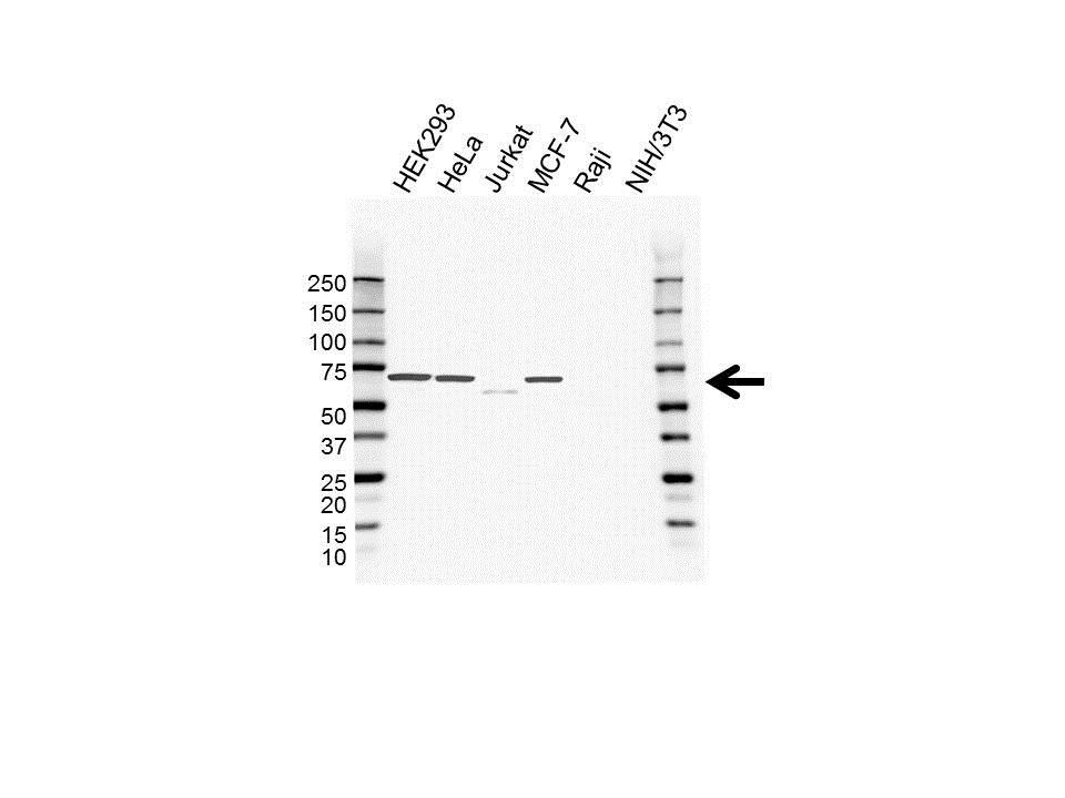 Anti Nemo-Like Kinase Antibody (PrecisionAb™ Monoclonal Antibody) gallery image 1