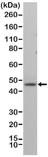 Anti Neun Antibody, clone RM312 thumbnail image 1