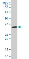 Anti Human Neurogenin 2 Antibody, clone 2A8 gallery image 1