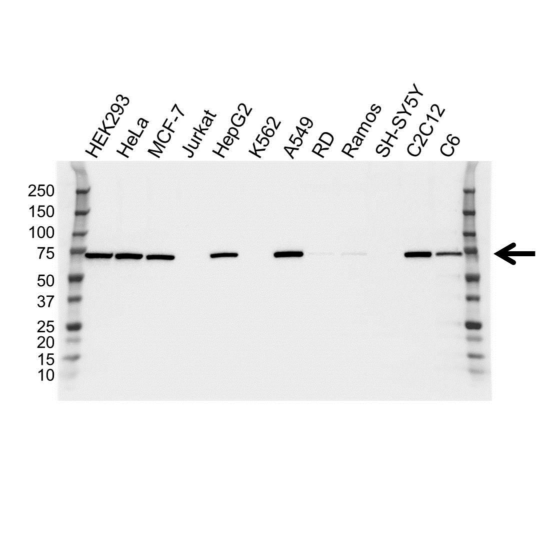 Anti NFE2L2 Antibody (PrecisionAb™ Monoclonal Antibody) gallery image 1