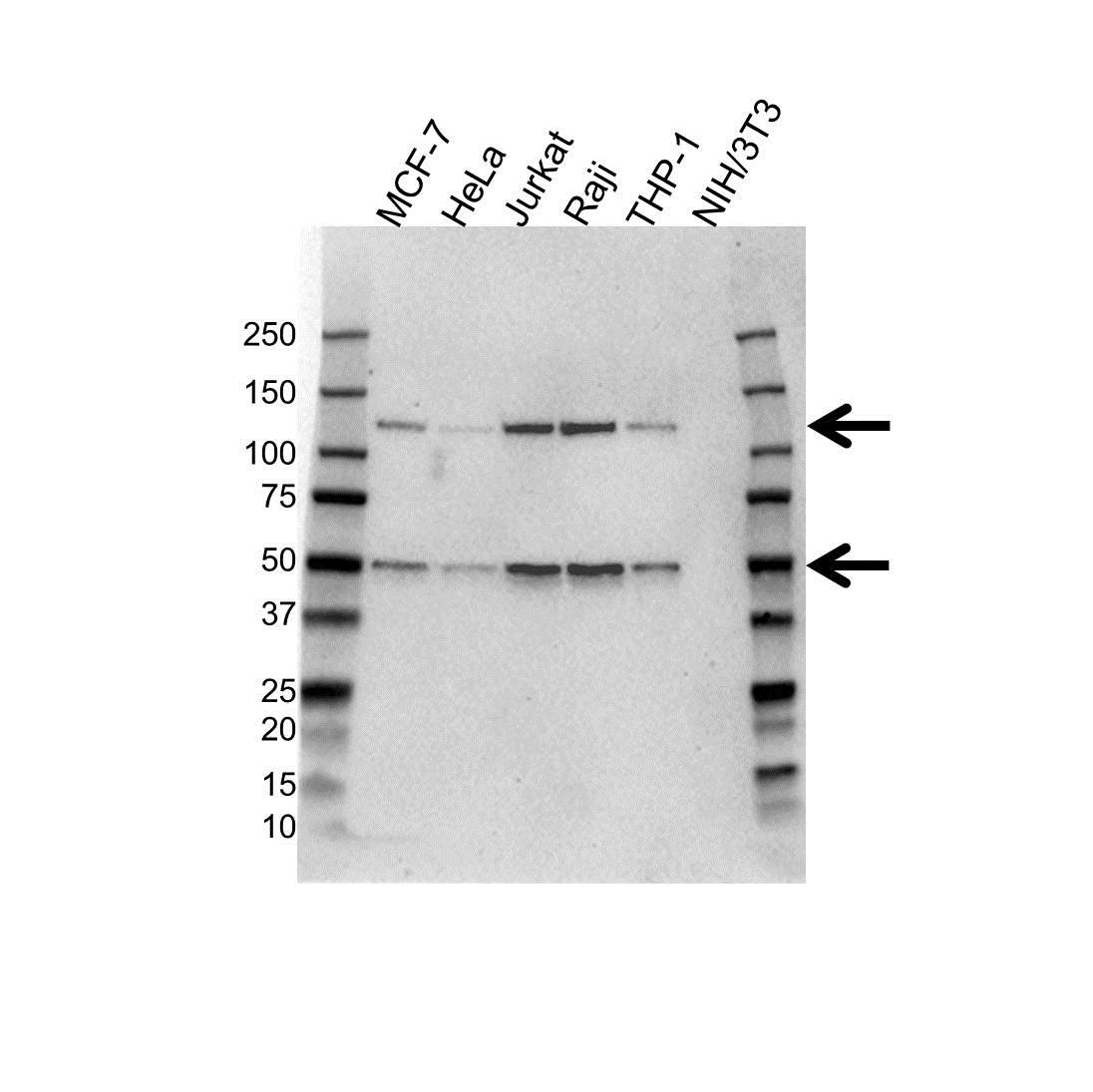 Anti NFkB p50 Antibody (PrecisionAb™ Monoclonal Antibody) gallery image 1